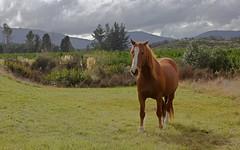 New Zealand equine beauty (WinRuWorld) Tags: erua horse countryside equine newzealand nz outdoors nature wildlife canon canonphotography equusferus animal fauna ruapehudistrict manawatuwanganui