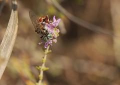 Tachytes argenteus f._2564 (Henrik Gyurkovics) Tags: tachytesargenteus tachytes argenteus crabronidae hymenoptera wasps greece rhodes faliraki squareheadedwasps