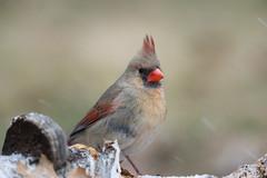 Ms Cardinal-40804.jpg (Mully410 * Images) Tags: female birdwatching birding cardinal backyard northerncardinal bird birds birder