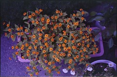 (✞bens▲n) Tags: contax g2 kodak ektapress 100 carl zeiss 45mm f2 film analogue negative flowers