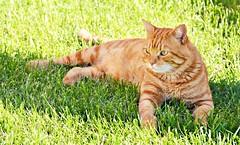 Mi pequeño tigre pelirrojo (En memoria de Zarpazos, mi valiente y mimoso tigre) Tags: cat kitten ginger orangetabby greeneyes garden gato gatto chat micio rosso red roux jardín zarpazos foreverinmyheart mycat