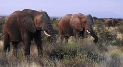7815e  The Line-Up (jjjj56cp) Tags: elephant elephants elephantcalf grazing inthewild grasslands buffalospringsreserve archerspost nationalpark kenya safari africa africansafari summer july p900 jennypansing closeup wrinkles folds tusks profile lineup trio calf motherandbaby