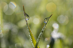 Balance (DanielaC173) Tags: dew bokeh grass field green water drops waterdrops droplets