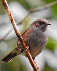 Dunnock (LouisaHocking) Tags: wild wildlife british bird nature southwales wales cyfarthfa park merthyrtydfil merthyr walk woods gardenbird