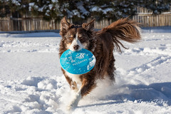 January 28, 2019 - Snow or not, Scout loves his Frisbee. (Tony's Takes)