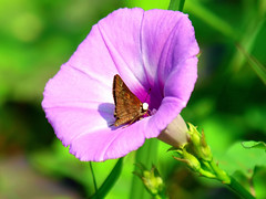 Clouded Skipper In A Wild Morning Glory (Kaptured by Kala) Tags: ipomoeacordatotriloba cottonmorningglory pinkmorningglory wildflower texaswildflower whiterocklake dallastexas flower pinkflower morningglory reinhartbranch tievine wildmorningglory closeup insect bug lake cloudedskipper leremaaccius butterfly skipper brownbutterfly