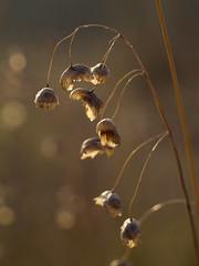Quaking Grass (DanielaC173) Tags: autumn light autumncolors autumncolours grass dried plant october briza quakinggrass