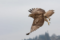 Red-tailed Hawk (dennis_plank_nature_photography) Tags: avianphotography redtailedhawk ridgefieldnwr birdphotography naturephotography ridgefield wa avian birds nature