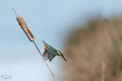 Plongeon du Martin-pêcheur d'Europe (mirage 31) Tags: alcedoatthis alcédinidés ariège commonkingfisher coraciiformes domainedesoiseaux martinpêcheurdeurope mazères bird femelle oiseau