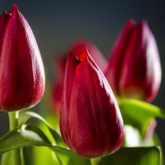 Tulips of love 🌷 (Martin Bärtges) Tags: blitzlicht blitzanlage blitz flash naturephotography naturfotografie studiofotografie studioshot natur nature nikonphotography nikonfotografie d7000 nikon tulpen tulips studio farbenfroh colorful rot red blossoms blüten blumen flowers