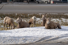 A herd of female ewe bighorn sheep gather, graze and relax in a roadside ditch during winter in Radium Hot Springs British Columbia (m01229) Tags: rock ram cuteanimal herd cute nature happysheep brown animal ovis bighorn wild ditch canadensis roadside outdoors horned ungulate lamb sheep horns grazing mountains horn female wildsheep gather animalsinthewild fur relax eating big bighornsheep radiumhotsprings wildlife park lookingup mammal ewe mountain