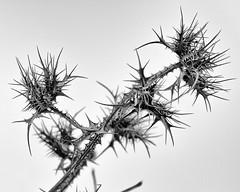 Espinas y aguijones (S. Guariach) Tags: pacosolís plantaespinosa sidiguariach sonya6500 objzeiss1670f4 franciscosolís monocromo bw blancoynegro seen arquitectura blackandwhite