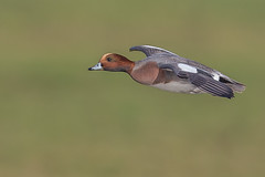 Wigeon (Glenn.B) Tags: gloucestershire nature slimbridge wwt wwtslimbridge bird avian flight waterfowl wildfowl wildlife duck wigeon