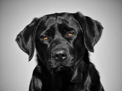 black sugar (uwe.kast) Tags: labrador labradorretriever labradorredriver hund haustier dog bichou black blackandwhite colorkey panasonic lumix