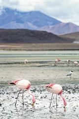 Altiplano - Flamencos (Daniel Gjakoni) Tags: canon 6d ef 70300mm f456l is uyuni potosi laguna hedionda flamencos flamingo reserva nacional de fauna andina eduardo abaroa bolivia latinoamerica southamerica südamerika altiplano paisaje landscape landschaft montaña cielo salar agua