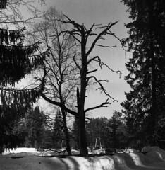Dark dead tree (Sonofsono) Tags: trees dead film finland black bw white winter snow r09 rodinal sem semflex tlr 120 expired