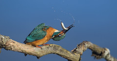 Kingfisher - Resistance is futile! (Ann and Chris) Tags: adorable aqua beautiful close fish impressive kingfisher stunning wildlife wild waterbird