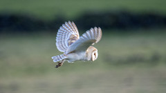 barn owl flight (alderson.yvonne) Tags: wild barnowl barn owl flight hunting yvonne yvonnealderson