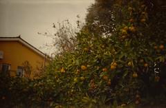 Mandarin trees in Slovenia (lumpy79) Tags: smena 8m 40mm f4 t43 triplet fujicolor c200 expired 2007 shot 2018 100 epsonv500 film slovenia mandarin