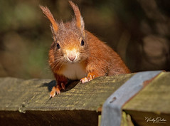 🇬🇧 Red squirrel waiting to be fed. (vickyouten) Tags: redsquirrel squirrel nature naturephotography wildlife britishwildlife wildlifephotography nikon nikond7200 nikonphotography nikkor55300mm formbybeach formby liverpool uk vickyouten