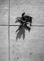Left Behind (Tim Roper) Tags: 28mm elmarit leica dilutionb film hc110 hp5 iso800 blackandwhite plants street