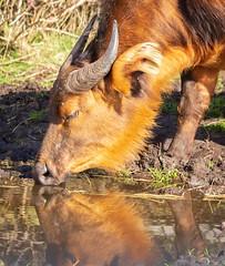 Buffalo drinking 8830 (Mike Thornton 15) Tags: buffalo african drinking waterhole reflection horns