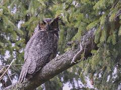 great horned owl wild (Mel Diotte) Tags: great horned owl wild nature raptor hunter tree eyes mel diotte explore