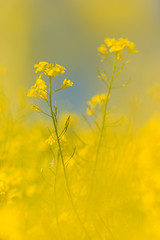 20180505-Canon EOS 6D-8315 (Bartek Rozanski) Tags: leuze namur belgium ardennes belgie belgique ardennen spring rape rapeseed yellow outoffocus bokeh blue sky plant agriculture