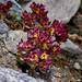 Saxifraga biflora (Two-flowered Saxifrage)