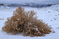 Large Sage in the Snow (arbyreed) Tags: arbyreed snow winter cold sage largesagebrush mesa crescentjunction grandcountyutah