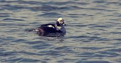 Alli (TheSaOk) Tags: clangulahyemalis alli lintukuva lintu vesilintu bird wildflow birdlife wildbird wildlife ocean meri swimming lauttasaari finland suomi helsinki baltic sea