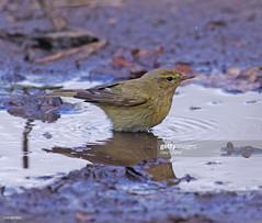 Chiffchaff (Gary Chalker, Thanks for over 4,000,000. views) Tags: chiffchaff warbler bird pentax pentaxk3ii k3ii pentaxfa600mmf4edif fa600mmf4edif fa600mm 600mm