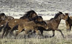 Wild Mustangs (raineys) Tags: wildmustangs horse nature california specanimal