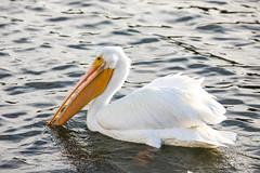 Fellers (Thomas Hawk) Tags: america bayarea california eastbay lakemerritt oakland us usa unitedstates unitedstatesofamerica westcoast bird birds lake pelican pelicans fav10