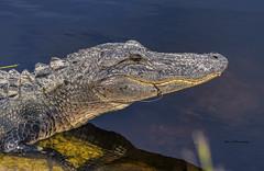 Gator (Mike_FL) Tags: gator evergladesnationalpark nikon nikond7500 nature wildlife floridawildlife florida outdor image tamron100400mmf4563divcusda035