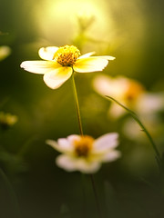 Chasing the light (Tomo M) Tags: wintercosmos soft nature winter bokeh blur green yellow