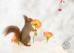 red squirrel in snow holding a orange rose (Geert Weggen) Tags: ice animal christmas closeup cute looking mammal nature nopeople photography red rodent santaclaus snow squirrel taillight winter performance candle light celebration holiday heart love valentine warmth icicle orange rose climb hold geert weggen hardeko bispgården jämtland sweden ragunda