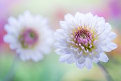chrysanthemum 6474 (junjiaoyama) Tags: japan flower plant chrysanthemum mum white winter macro bokeh
