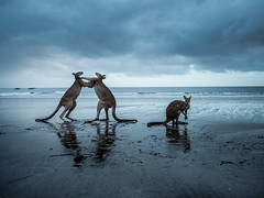 Don't fight for me please. (Cositos :)) Tags: mackay cape hillsborough queensland australia cangaroo wallaby sunrise beach summer fauna wild animal fight reflection shore nature reserve canguro pelea playa amanecer olympus omd em10