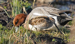 Snipe and Wigeon (dr brewbottle) Tags: snipe duck wigeon wader drake