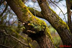 Mossy tree trunk (red.richard) Tags: tree trunk moss wood closeup bark branch nikon d800