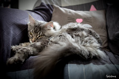 Moon Color (Epsilone83) Tags: cat maine coon animal