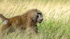 Buffalo Springs National Reserve-0495 (ovg2012) Tags: africa afrika anubispavian baboon buffalospringsnationalreserve canon kenia kenya olivebaboon papioanubis pavian reisefotografie safari samburu wildlife animal nature travelphotographer wild wildlifephoto wildlifephotography