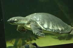 Fly River Turtle (charliejb) Tags: turtle flyriverturtle flyriver bristolzoogardens bristolzoo bristol 2019 aquatic water aquarium flippers shell underwater