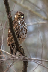 The Hunter (rob.wallace) Tags: raptor hunting perched redshouldered hawk alexandria va