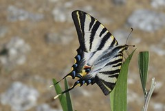 Scarce swallowtail (Koningspage) (Elisa1880) Tags: iphiclides podalirius scarce swallowtail koningspage butterfly vlinder portugal guimarães insect
