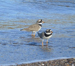 Ringed plovers (patrickcolhoun) Tags: ringedplovers birds nature wildlife birdwatching donegal ireland buncrana beach