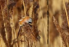 Bearded reedling (Bearded Tit) -Panurus biarmicus - Radipole Lake RSPB Dorset 170119 (2) (Ann Collier Wildlife & General Photographer) Tags: beardedreedling beardedtit panurusbiarmicus radipolelakerspb dorset weymouth royalsocietyfortheprotectionofbirds rspb rspbreserves wildlife dorsetwildlife birds bird reeds january2019 male
