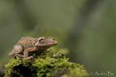 Scinax proboscideus - Scinax proboscidienne (audricbx) Tags: wildlife snake wildifephotography nature herpetology herpeto amazonia tropicalherping herping naturephotgraphy southamerica amphibian frog