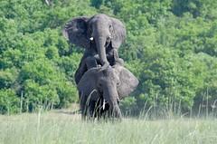 African Bush Elephant, Éléphant de savane (Loxodonta africana) - Chobe National Park, BOTSWANA (brun@x - Africa Wildlife) Tags: 2019 bruno portier brunoportier chobe botswana national park chobenationalpark mammifères wild wildlife african africa afrique big5 éléphant africanbushelephant bush savanna savane éléphantdesavane éléphantidés elephantidae proboscidea pachydermes mate mating elephant